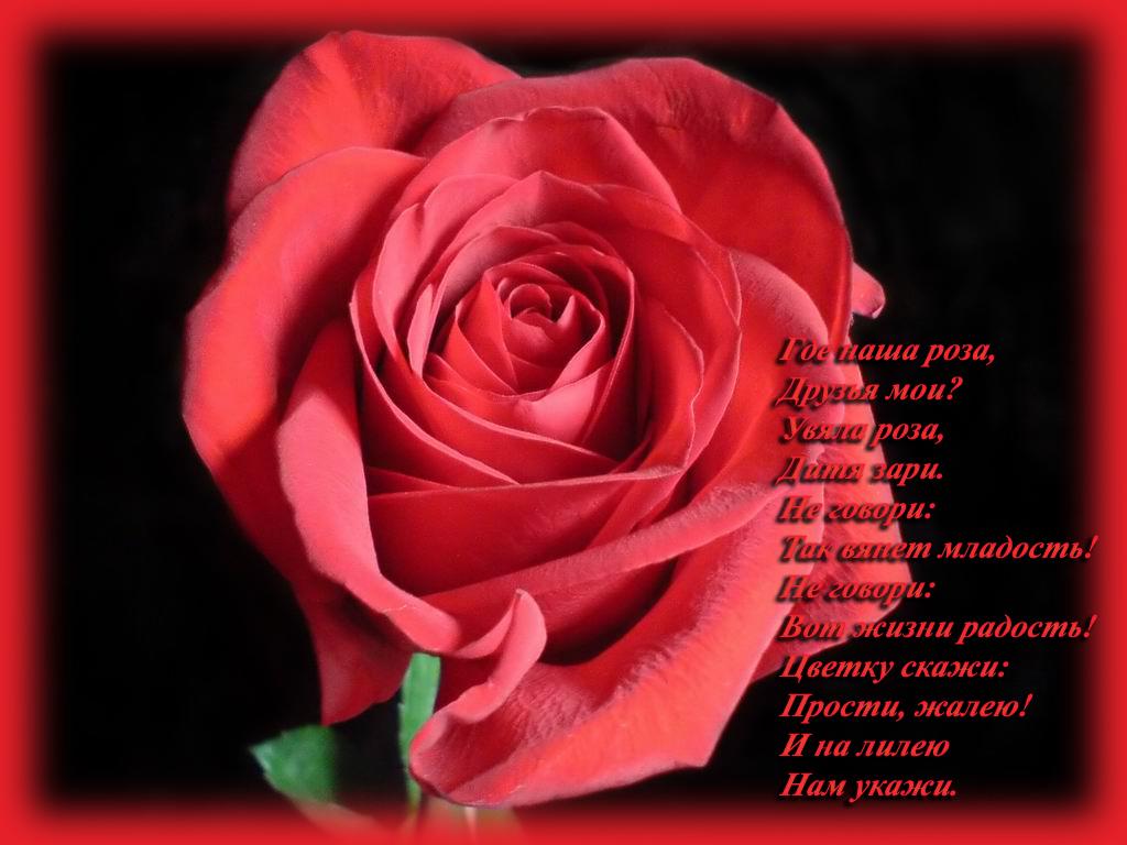 Стихи красивый цветок роза